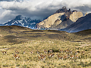 """Wild guanacos (Lama guanicoe, related to camels) graze beneath Los Cuernos in Torres del Paine National Park, Chile, South America. """"The Horns"""" (about 2100 meters elevation) are a pinkish-white granodiorite intrusion formed 12 million years ago topped with an older crumbly dark sedimentary rock, exposed by freeze-thaw erosion and glaciation. The foot of South America is known as Patagonia, a name derived from coastal giants, Patagão or Patagoni, who were reported by Magellan's 1520s voyage circumnavigating the world and were actually Tehuelche native people who averaged 25 cm (or 10 inches) taller than the Spaniards."""