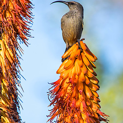 Ave em Flor (Registro) fotografado na África do Sul. Registro feito em 2019.<br /> ⠀<br /> ⠀<br /> <br /> <br /> <br /> <br /> <br /> ENGLISH: Bird in bloom photographed in South Africa. Picture made in 2019.