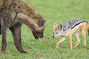 Black-backed Jackal<br /> Canis mesomelas<br /> Scavenging, trying to steal meat from Spotted Hyena<br /> Masai Mara Triangle, Kenya