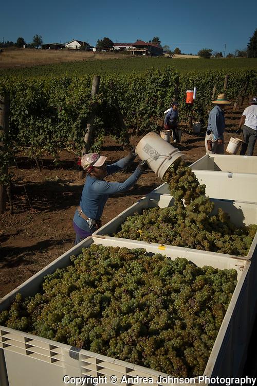 Riesling harvest at Brooks Estate vineyard, Eola-Amity Hills AVA, Willamette Valley, Oregon