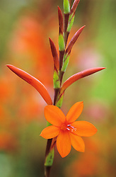 Watsonia pillansii syn. W. beatricis