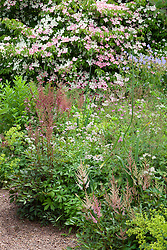 Corner of a summer border at Glebe Cottage including Cornus 'Norman Hadden', Astilbe 'Fanal', Knautia macedonica, Astrantia major, Alchemilla mollis