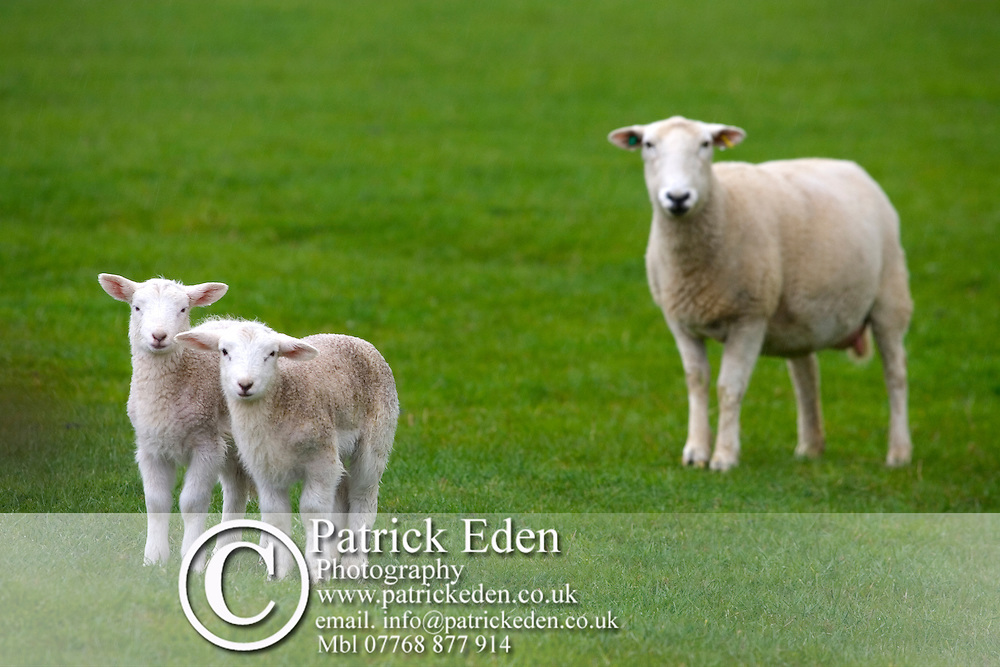 Sheep and Lambs Photographs of the Isle of Wight by photographer Patrick Eden photography photograph canvas canvases