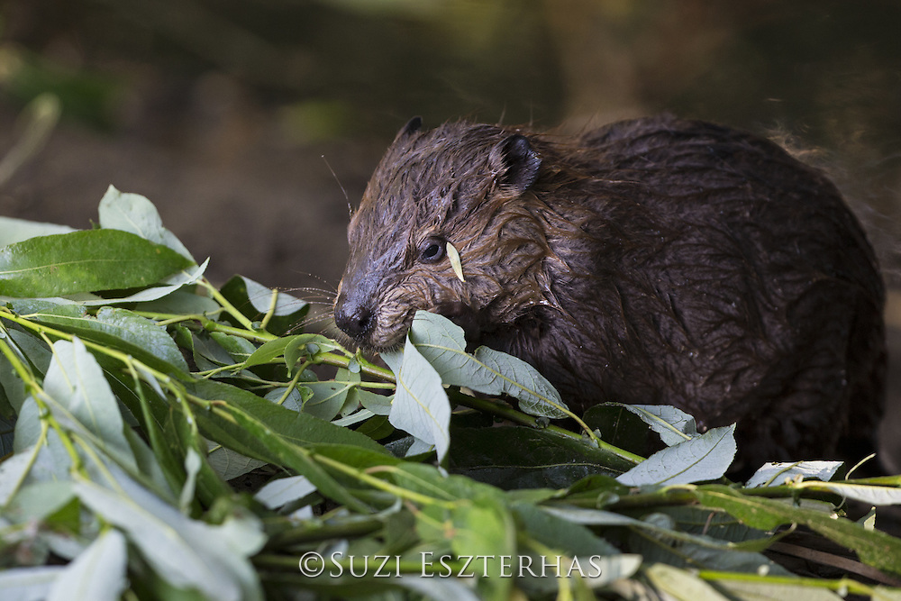 North American Beaver<br /> Castor canadensis<br /> Eight-week-old kit eating willow<br /> Martinez, CA