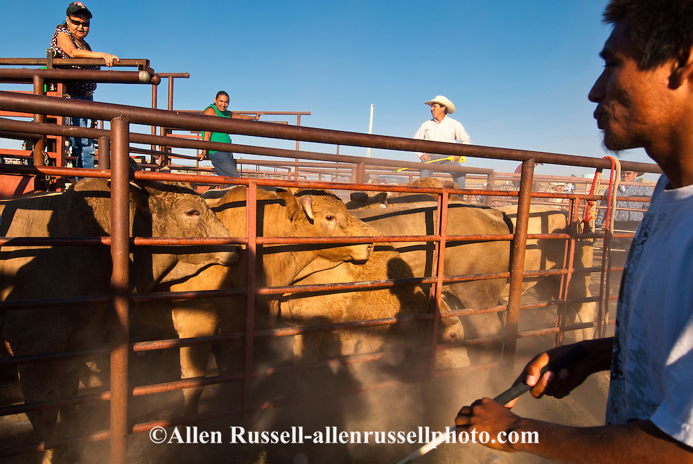 Crow Fair, Indian rodeo, Bucking Bulls being loaded in chutes, Montana