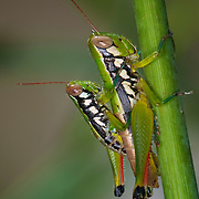Oxyinae sp, short horned grasshoppers mating.