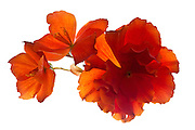 These begonias were photographed on a light box so the light is coming from behind the flowers. The denser the petals the darker they appear.