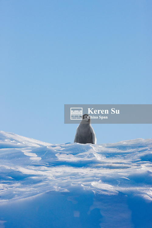Emperor Penguin chicks climbing a small ice mound, Snow Hill Island, Antarctica