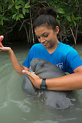 West Indian manatee (Trichechus manatus) <br /> Wildtracks<br /> Manatee Rehabilitation Center<br /> Sarteneja<br /> Belize,<br /> Central America<br /> & Jamilee Cruz