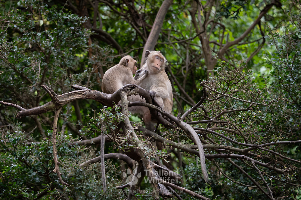 The crab-eating macaque (Macaca fascicularis), also known as the long-tailed macaque, is a cercopithecine primate native to Southeast Asia.