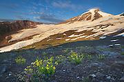 Mount Baker (elevation 10,778 feet, 3,285 m) northernmost volcano in the Cascade Range, seen from meadows of Heliotrope Ridge, Mount Baker Wilderness Washington