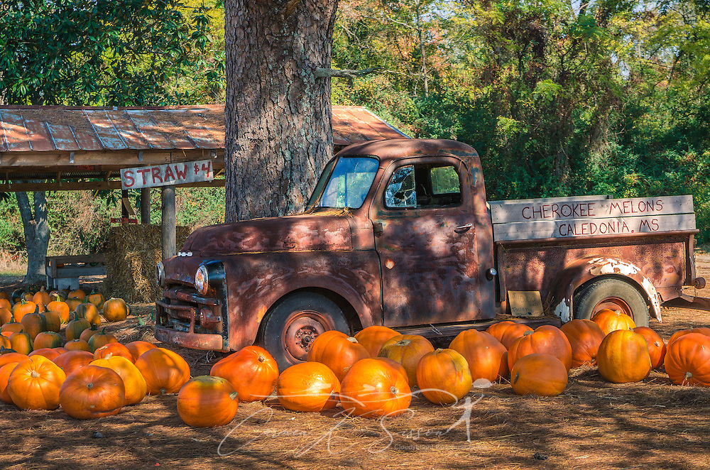 Pumpkins are scattered across a bed of pine straw, lending a seasonal touch, October 29, 2011, in Caledonia, Mississippi. The pumpkins, produced by local farmer Johnny Gilmer, are offered for $10 apiece, payable by the honor system. (Photo by Carmen K. Sisson/Cloudybright)