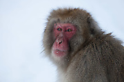 Snow monkey, looking at camera