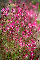 Gaura lindheimeri 'Whiskers Deep Rose'. Butterfly Gaura