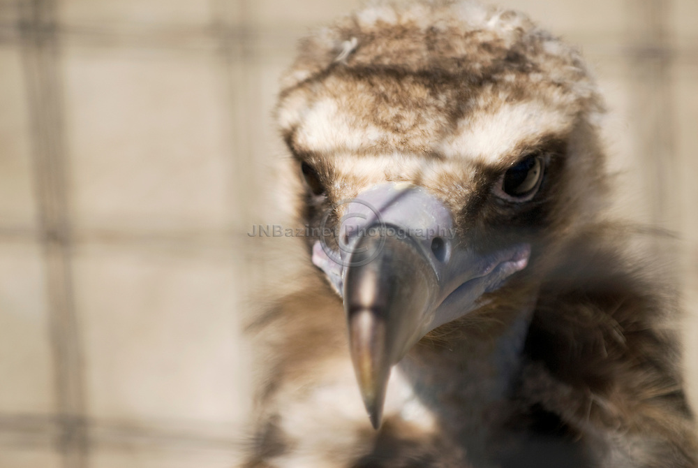 The Cinereous Vulture (Aegypius monachus) is also known as the Black Vulture, Monk Vulture, or Eurasian Black Vulture