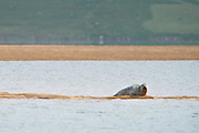 The grey seal, which is much bigger then the harbour seal, is an average of 2,5 m in length and weighs around 300 kg.