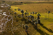 Mauritia Palm (Mauritia flexuosa)<br /> Aerial views over Savannah<br /> Rupununi<br /> GUYANA<br /> South America<br /> INDIGENOUS TO GUIANAS