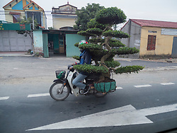 Asia, Vietnam, Ha Long Bay, man with bonsai tree on motorcycle