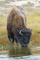 American Bison (Bison bison) drinking from stream, Yellowstone National Park, Wyoming, USA   Photo: Peter Llewellyn