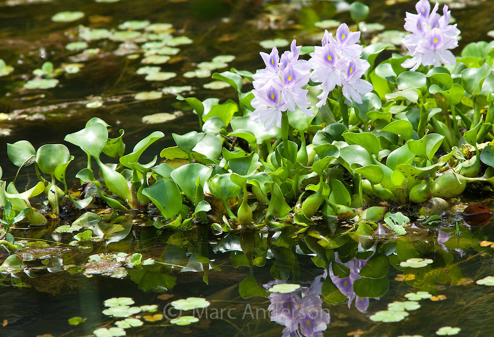 Aquatic plants with lilac flowers growing in a stream, Chitwan National Park, Nepal
