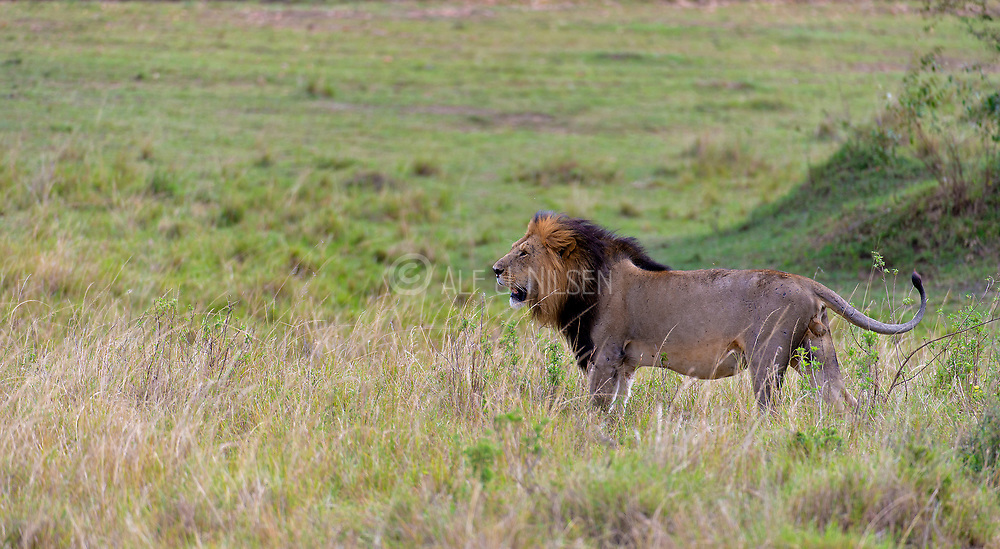 Big male lion in Maasai Mara, Kenya.