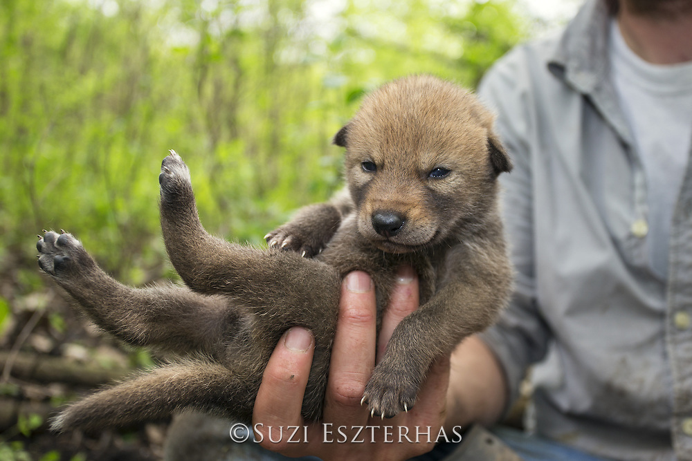 Coyote <br /> Canis latrans<br /> Wildlife researcher of the Cook County Coyote Project, holding three-week-old pup<br /> Chicago, Illinois