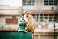 Lopburi Monkey Thailand