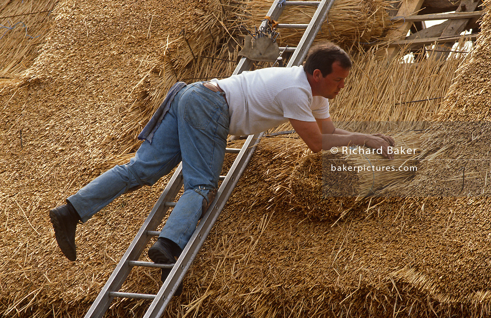 Using techniques developed over thousands of years, traditional thatcher lays straw on a barn roof in Suffolk, England. Balancing across the width of the roof's surface, the man uses a Shearing Hook to lay the straw into the outer weathering coat of the roof's slope. Using techniques developed over thousands of years, good thatch will not require frequent maintenance. In England a ridge will normally last 10–15 years. Thatching is the craft of building a roof with dry vegetation such as straw, water reed, sedge (Cladium mariscus), rushes and heather, layering the vegetation so as to shed water away from the inner roof. It is a very old roofing method and has been used in both tropical and temperate climates. Thatch is still the choice of affluent people who desire a rustic look for their home or who have purchased an originally thatched abode.