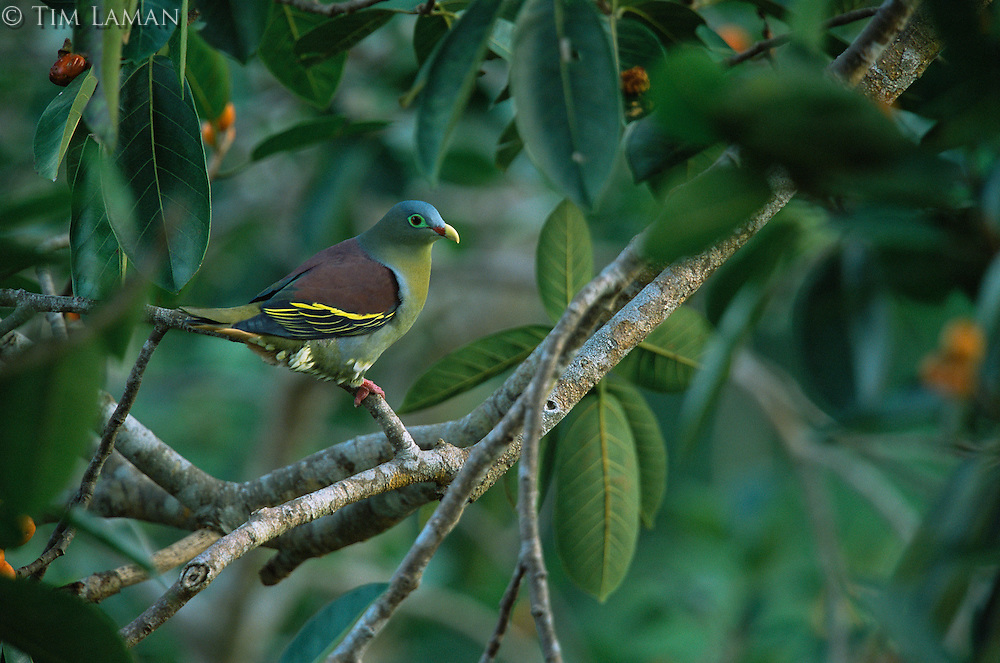 Thick-billed green-pigeon (Treron curvirostra) male in fig tree..Subterranean River National Park..Palawan Island, Philippines.  Oct 01.