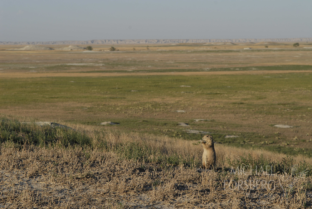 Conata Basin, Buffalo Gap National Grassland, South Dakota..Prairie dog grazes in a vast prairie dog complex, one of the largest in North America.