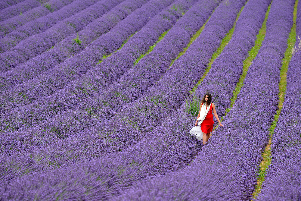 Lavender Field near Roussillion,Provence-Alpes-C&ocirc;te d'Azur,Provence France, Europe<br /> Model release 0351