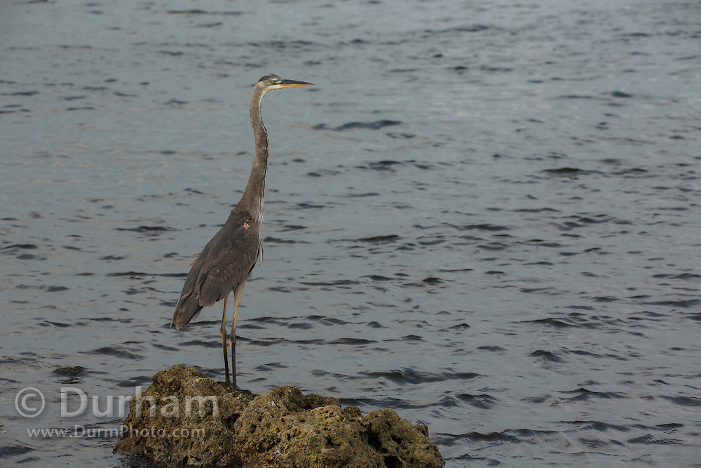 A great blue heron (Ardea herodias) at Convoy Point in Biscayne National Park, Florida.
