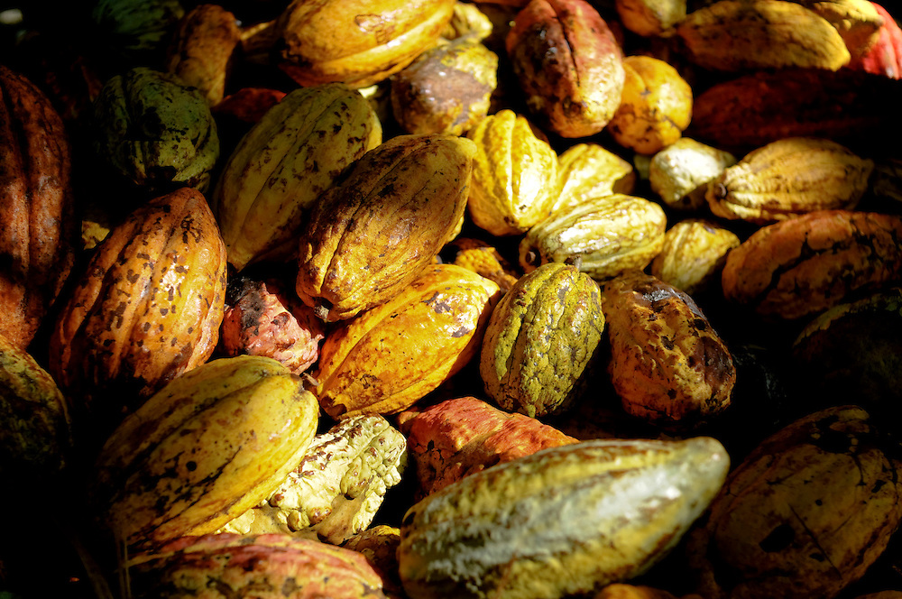 Cacao fruit produces high-quality beans used to make fine chocolate. Growers in Choroni, Venezuela are trying to revive the industry in face of challenges such as crop plagues, plantation seizures and government intimidation.