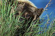 USA, Vereinigte Staaten Von Amerika: Grizzlybär (Ursus arctos horribilis) blickt durchs Gras in die Kamera, Katmai Nationalpark, Alaska | USA, United States Of America: Brown bear (Ursus arctos horribilis), looking behind vegetation, Katmai National Park, Alaska |