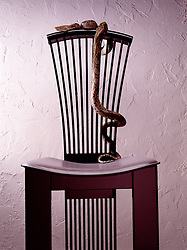 Pet snake perched on contemporary chair