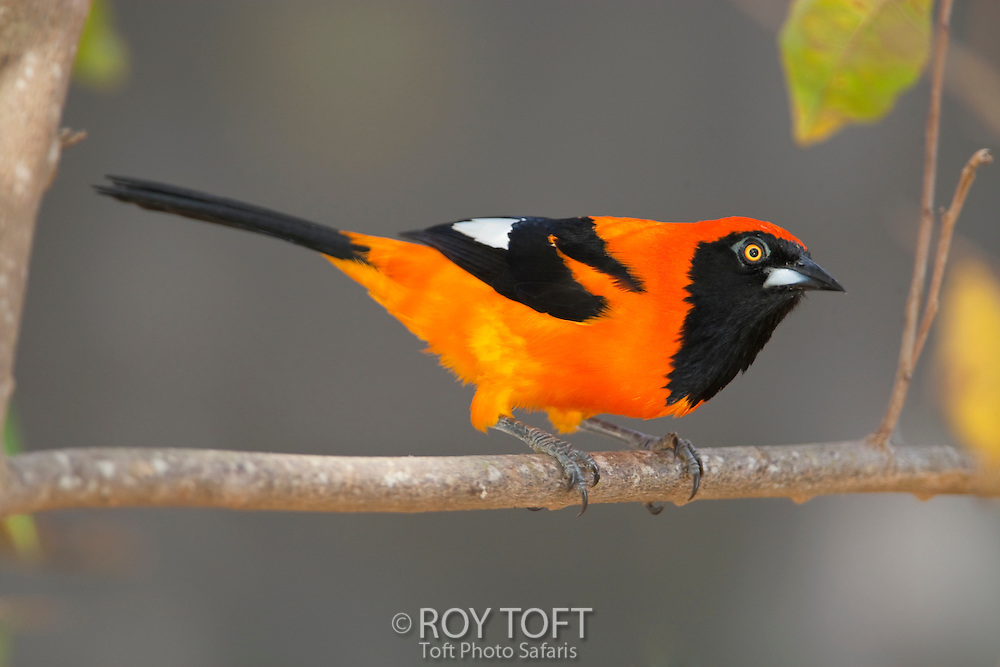 Portrait of an Orange-backed Troupial perched on a tree branch, Mato Grosso, Pantanal, Brazil