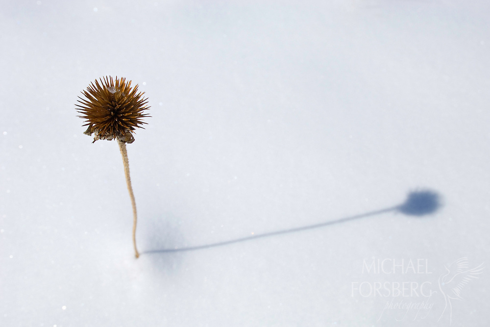 The dried stalk of a prairie coneflower remain through the winter in Wind Cave National Park, South Dakota.