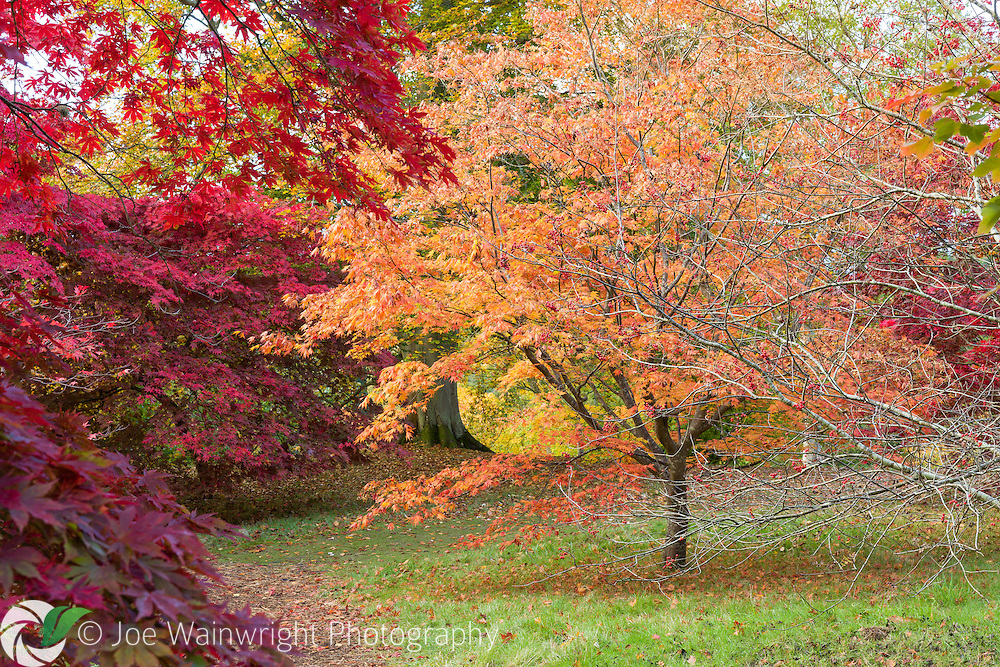 Rich autumn colour in the Acer Glade at Bodnant Garden, North Wales