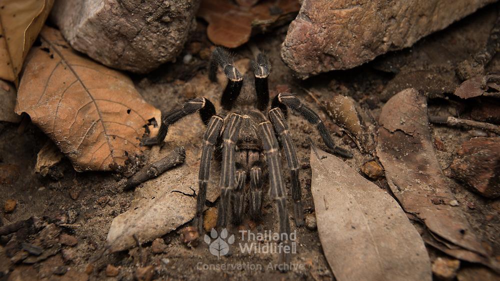 Cobalt Blue Tarantula (Cyriopagopus lividus) male in Nong Ya Plong, Phetchaburi, Thailand