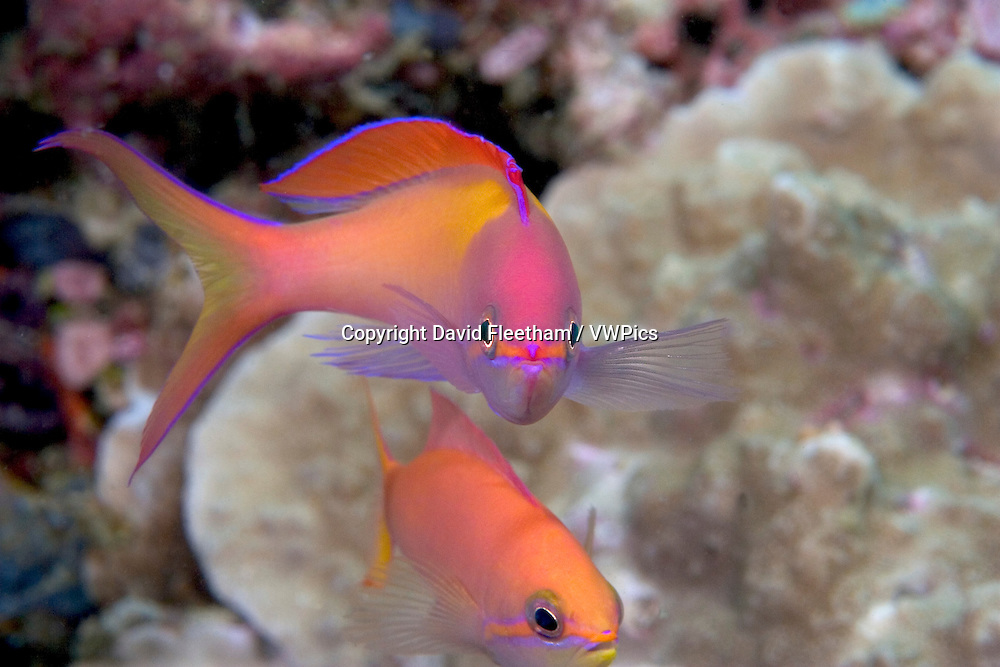 This male peach anthias, Pseudanthias dispar, is nearly four inches long and presides over a large aggregation of females.  Mabul Island, Malaysia.