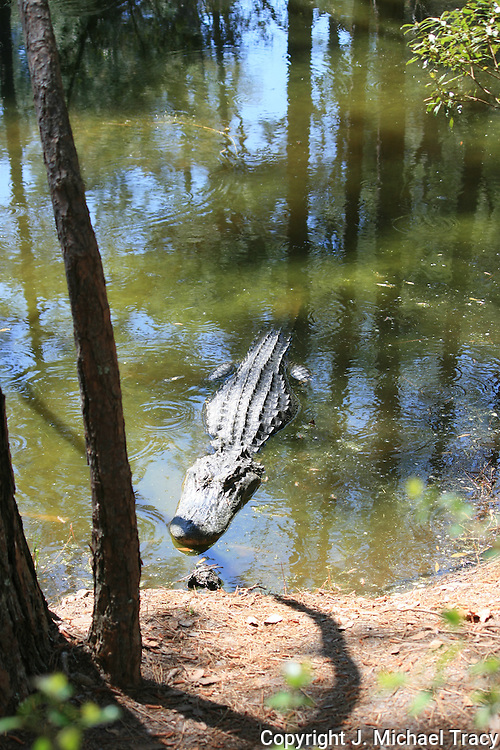 A 12 or 13 foot Jekyll Island Alligator waiting for an unwary deer or tourist to get too close to the edge of the pond.