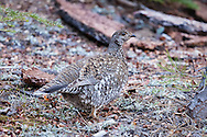 A female sooty grouse picks through the forest needles looking for food.  Males can be heard throughout the Sierra Nevada, but are much harder to spot, as their deep booming vocalizations are difficult to triangulate.  Yosemite National Park.