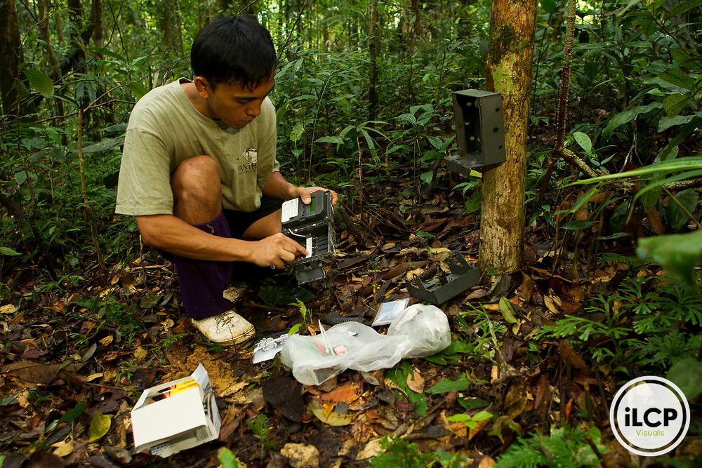 Bornean Clouded Leopard (Neofelis diardi borneensis) researcher Nuh Engoh replacing batteries in camera trap, Tawau Hills Park, Sabah, Borneo, Malaysia