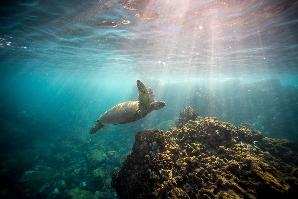 Hawaiian Green Turtle on Maui
