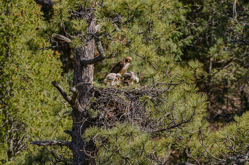 Red-tailed Hawk [Buteo jamaicensis] adult bringing food to nestlings, feeding time at nest; Raton Pass, Colorado