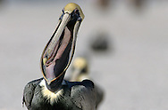 USA, Vereinigte Staaten von Amerika: Braunpelikan (Pelecanus occidentalis), gähnt, Indian Shores, Florida, USA. | USA, United States of America, Florida, Indian Shores: A Brown Pelican (Pelecanus occidentalis) is yawning. |