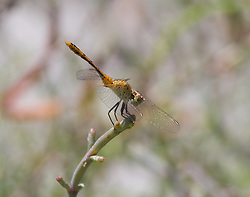 A dragonfly rests on Samphire on Roebuck Plains near Broome.