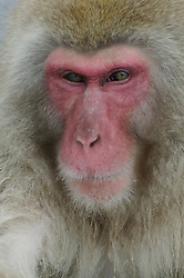 An adult snow monkey poes for a portrait while resting in a hot spring in Japan.