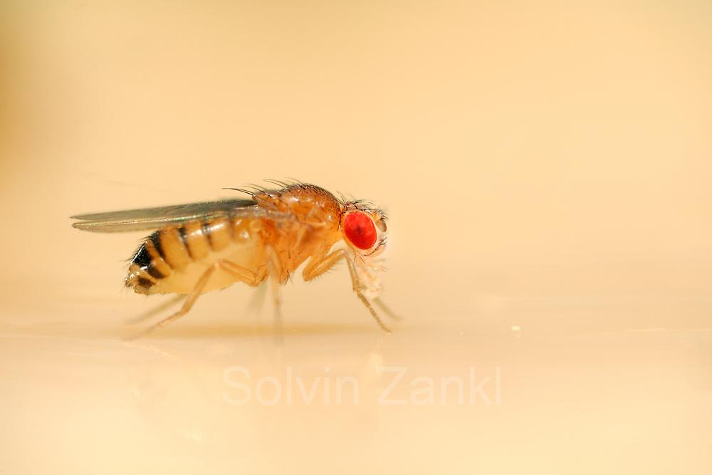 """Wild type Fruit Fly (Drosophila melanogaster) lab culture.   Diese im Wiener Fliegenlabor gezüchtete Taufliege (Drosophila melanogaster) gehört zum Stamm """"Wildtyp"""". Sie sieht äußerlich aus wie die wilden Taufliegen, die gerne die heimische Obstschüssel besuchen, doch auch sie ist genmanipuliert und in einem zweiten Manipulationsschritt wieder dem urpsrünglichen Aussehen angepasst."""