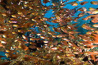 Diver with a school of golden or pygmy sweepers inside an unidentified ship wreck, Manokwari, West Papua, Indonesia.